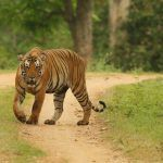TigerfromKabini4Blog1-1