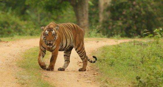 TigerfromKabini4Blog1-1